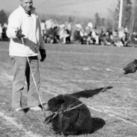 Live bear mascot on field with chains.